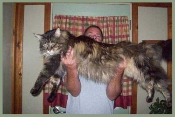 То ли рысь, то ли кот