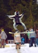 Животные сноубордисты